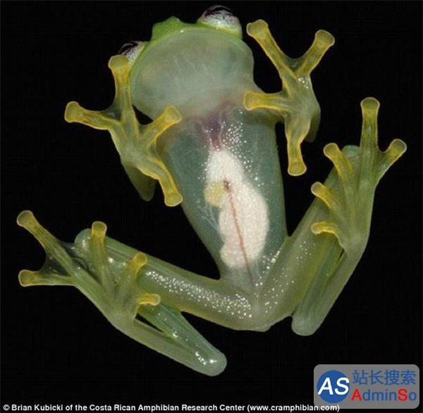 皮肤透明可看清内脏器官 新物种