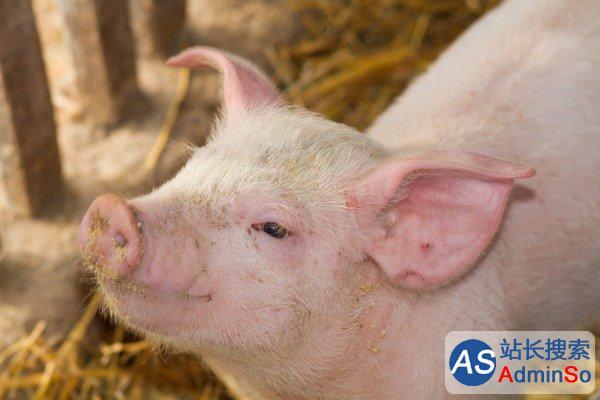 猪或可成为完美的人类器官捐献者 哈佛大学