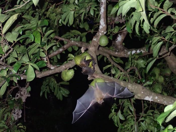 蝙蝠身上发现的新病毒或致使考拉灭绝