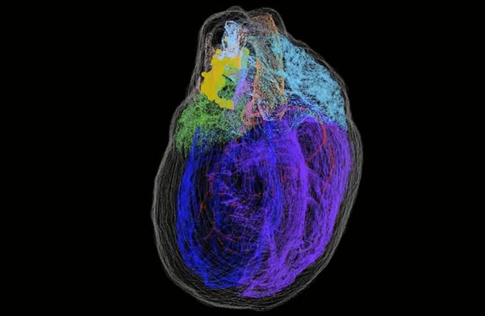 研究人员创建了首张心脏神经元的3D地图