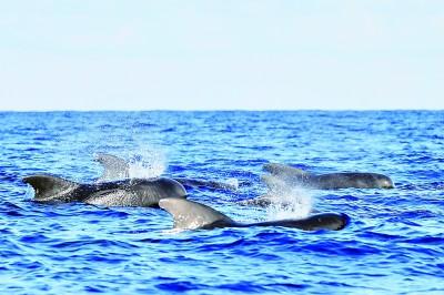 科研人员在南海记录到短肢领航鲸群体与弗氏海豚群体混游现象