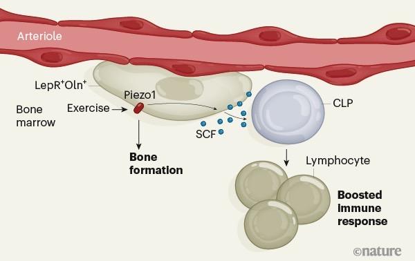 科学家发现运动可以促进骨骼中对抗感染的免疫细胞的产生